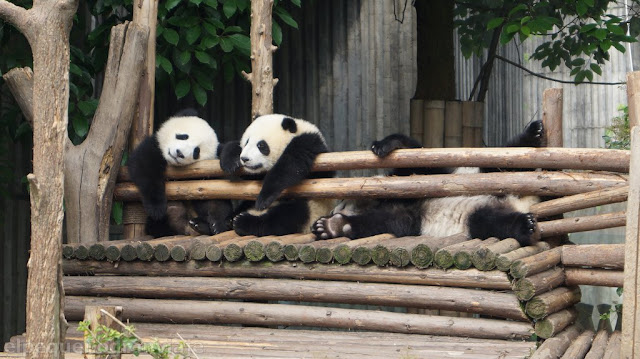 Pandas, chengdu, parque, complejo, tarifa, entrada, transporte