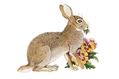 conejo serrano Sylvilagus floridanus