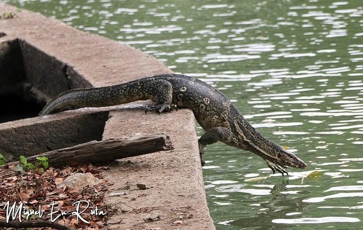 Varano en el estanque de Lumpini