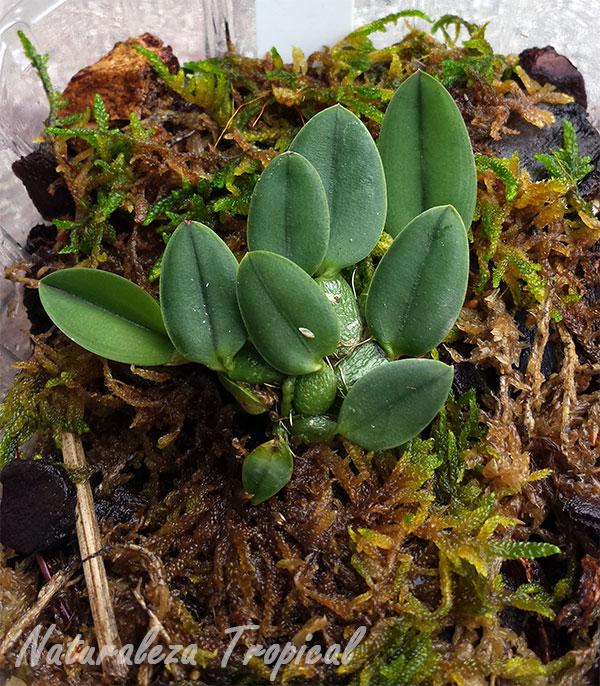 Orquídea epífita creciendo sobre sustrato para epífitas