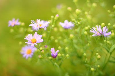 Field of Purple Flowers - Flower Photography by Mademoiselle Mermaid.