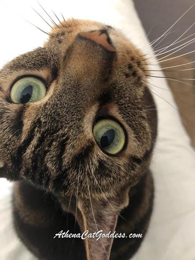 tabby cat gazes lovingly