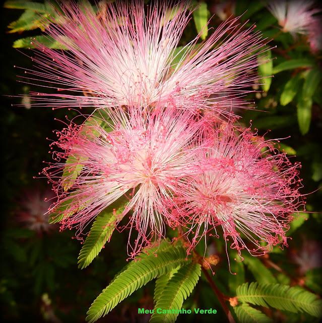 FLOWERS Calliandra brevipes