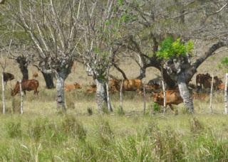 SAN PEDRO DE MACORÍS. Además de la sequía, los ganaderos de esta provincia y de Hato Mayor son seriamente afectados por los robos de reses y otros animales.