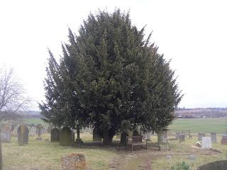 A yew tree in Husborne Crawley church yard