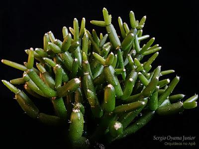 Cacto Rhipsalis cereuscula