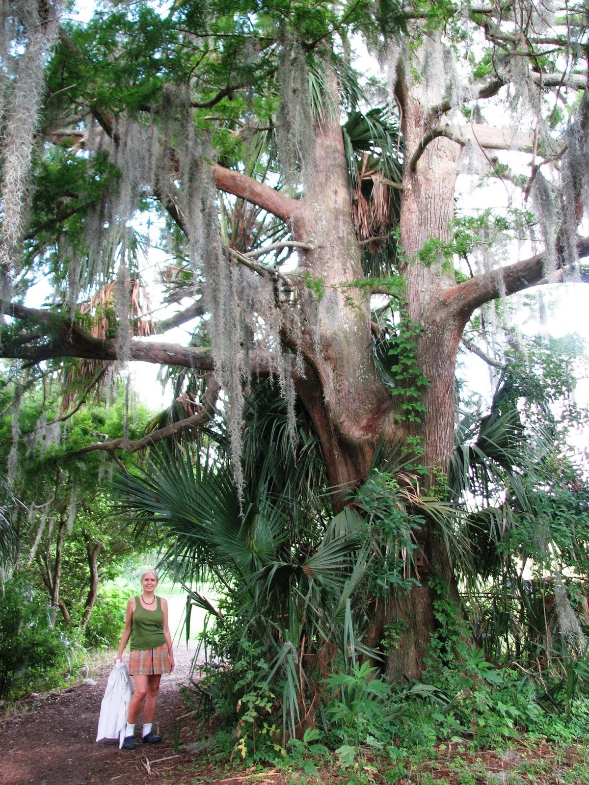 sized cypress in orleans parish circumference measured above the buttress where the trunk becomes uniform in size please let us know