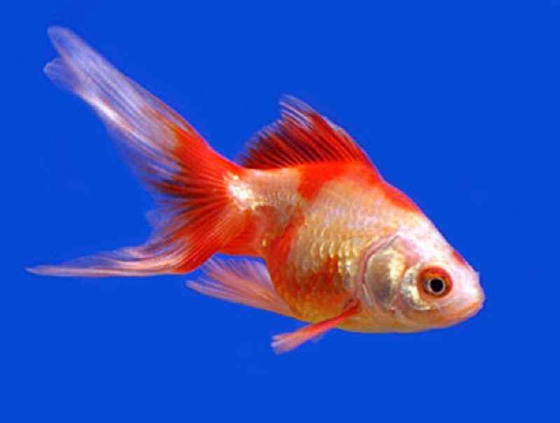 Cara Budidaya Ikan Koki Ekor Kipas Inilah Rahasianya