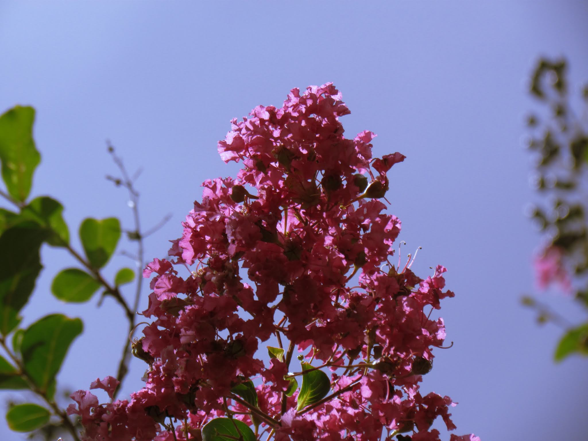 A flowering pink plant budding to life in the blue skies of a Florida park and wonderland