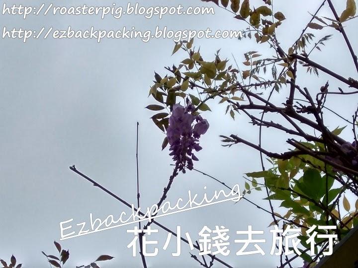 香港紫藤2021