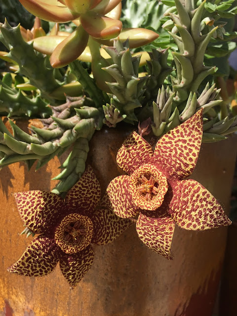 Orbea, Orbea variegata, Orbea variegata flower, Orbea flowers, Succulents, Succulent Flower, Flowers, Blooms, Garden, Gardening, Plants
