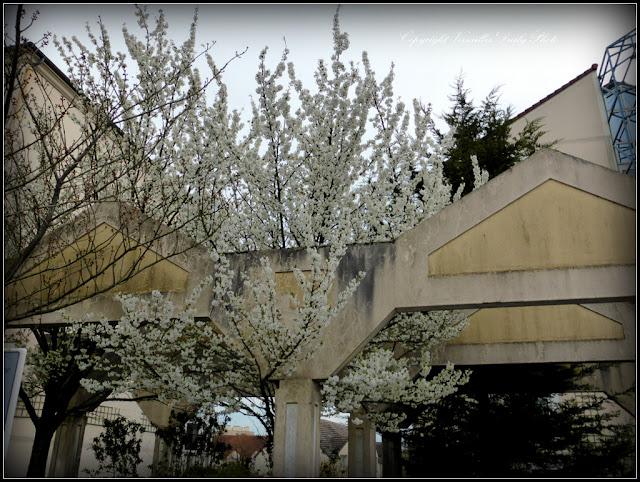 Cerisier en fleurs Versailles Jussieu