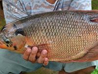 Bagaimana Budidaya Ikan Gurame di Kolam Tembok?