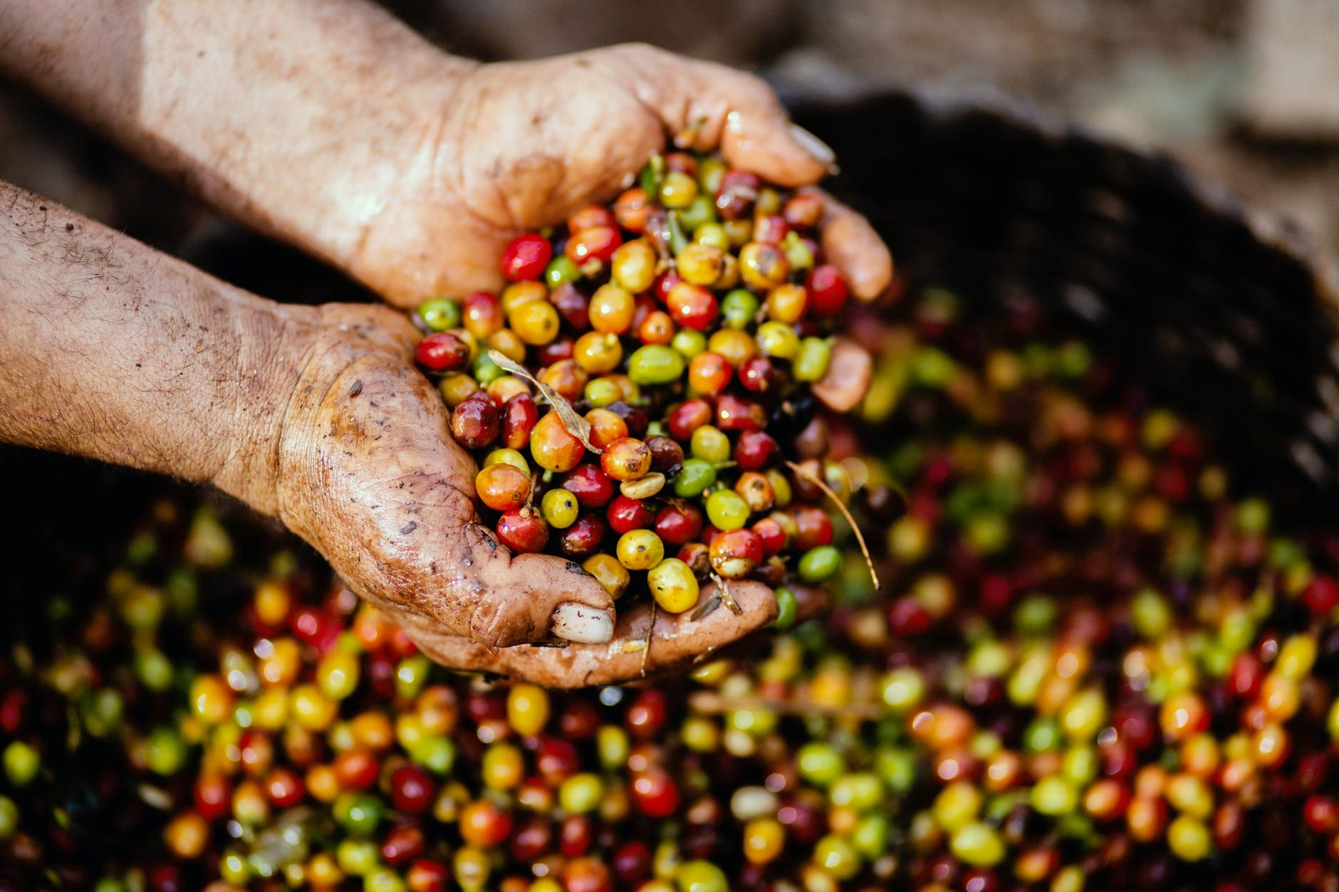 Benefits of green coffee for the body