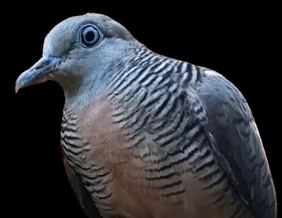 jenis jenis burung perkutut dan gambarnya Wisnu Murti
