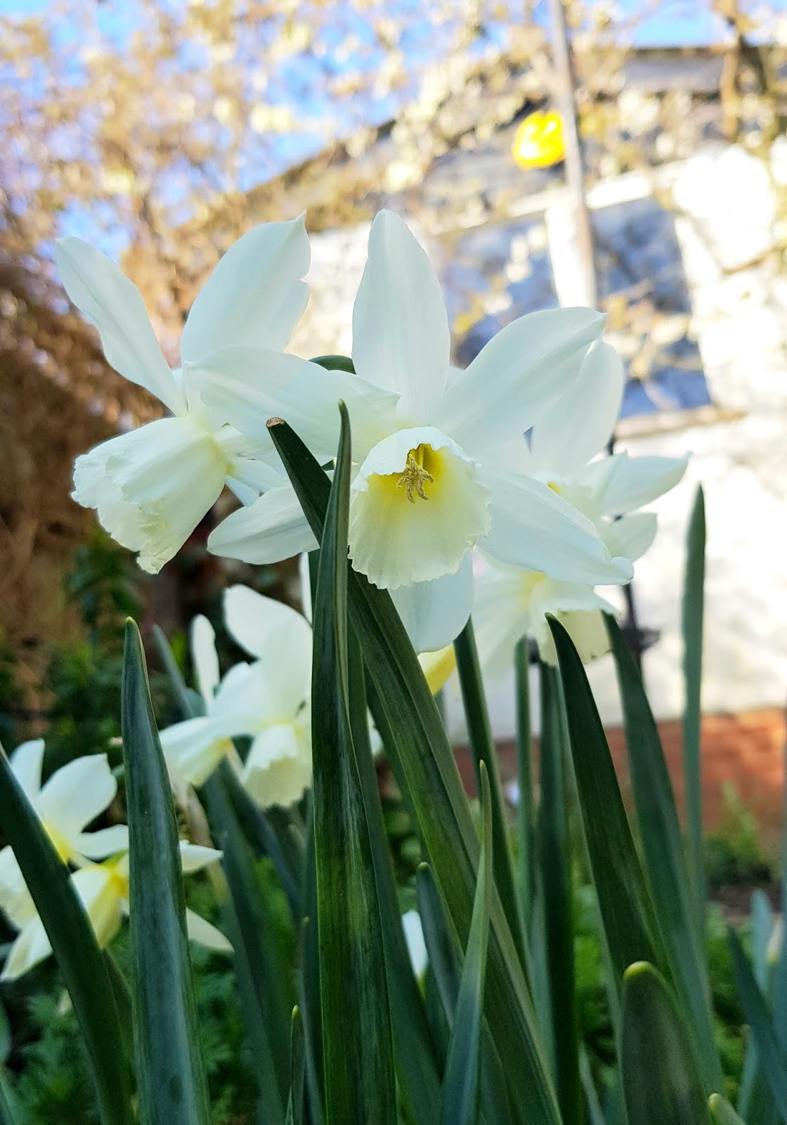 Narcissus Thalia flowering in London, March 2020