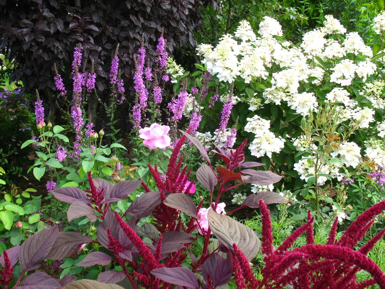 "Roses du jardin Chªneland Hydrangea paniculata ""Unique"""