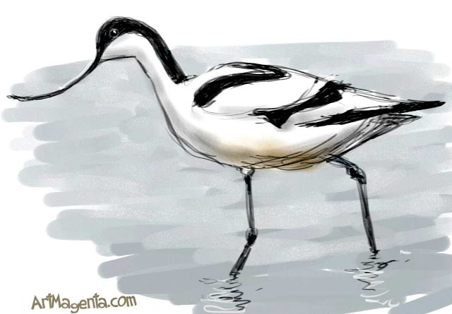Pied Avocet sketch painting. Bird art drawing by illustrator Artmagenta