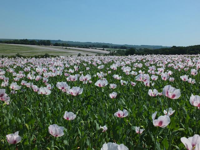 Pharmaceutical poppies