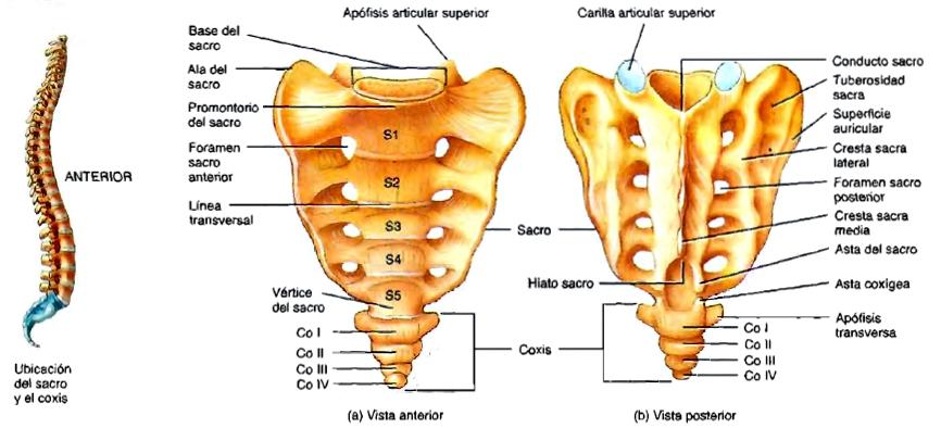 Único Sacro Coxis Inspiración - Anatomía de Las Imágenesdel Cuerpo ...