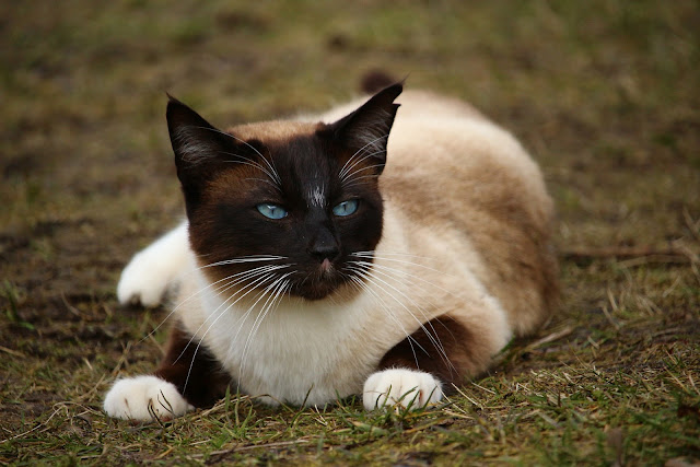 Domestic Cat Breeds – 3 Of The Best