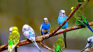 انتاج العصافير