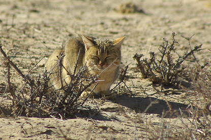 Brown African wildcat sitting with its eyes closed