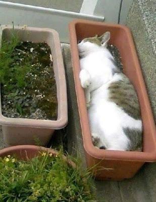 Kucing Tidur di Pot