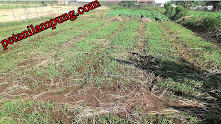 cara menanam kangkung panen berlipat