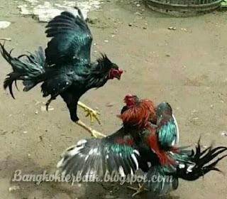 Ciri ayam bangkok aduan pukul syaraf