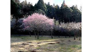 梅の木。昭和の森公園で。