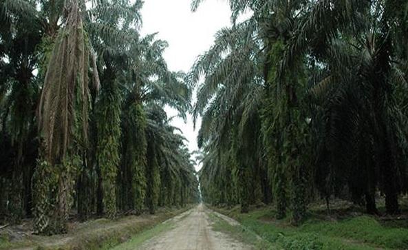 Peremajaan Sawit Di Muba Capai 12.238 Hektare