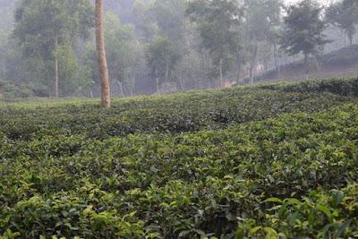 Mathiura tea garden
