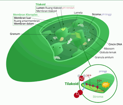 Kloroplas: Pengertian, Gambar, Struktur, Cara Kerja, dan Fungsi