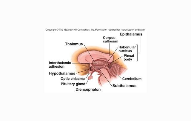 Thalamus, Subthalamus, Epithalamus, Hypothalamus