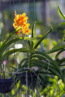 Vanda Orchids in the nursery