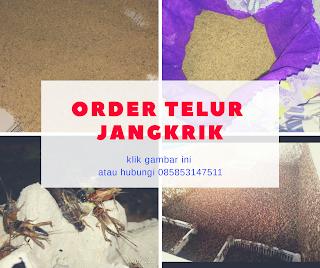 Anda mencari daerah jual telur jangkrik Banjarnegara Order WA 0858-5314-7511 Bibit Telur Jangkrik Banjarnegara