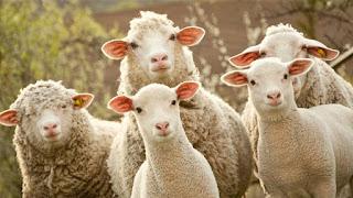En Jordi té 7 ovelles, i en Pau sols 5.