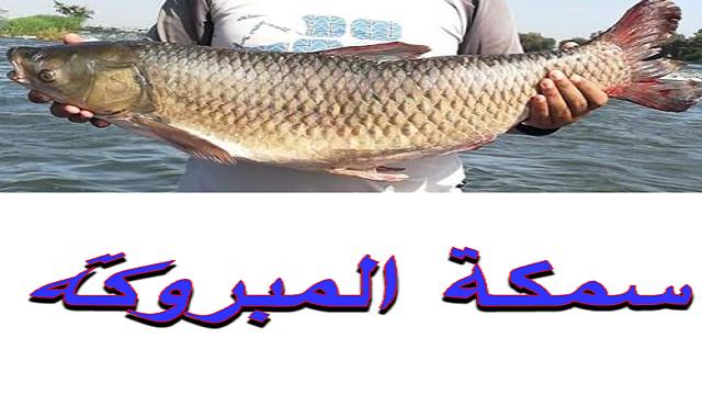 صيد سمكة المبروكة بالانشون