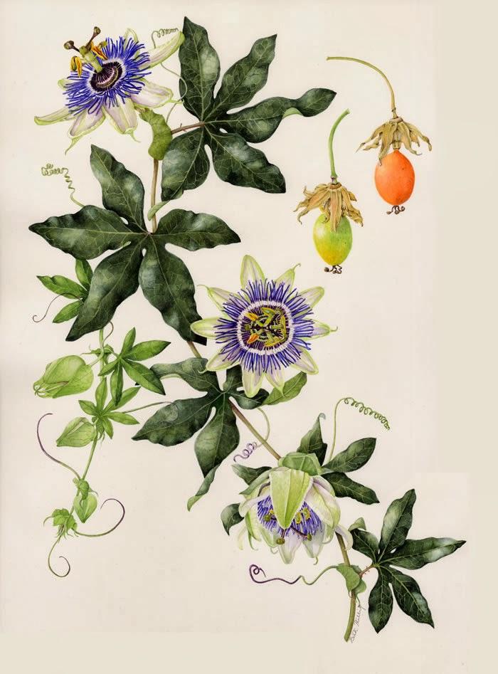 Botanical illustration of Passiflora caerulea