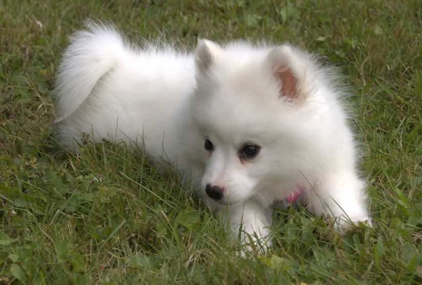 14 Popular White Small Dog Breed Cute Lovely Propatel