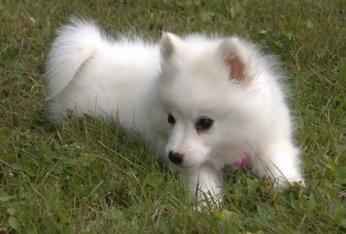14 Popular White Small Dog Breed - Cute & Lovely