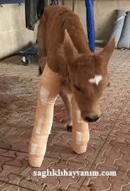 Hayvanlarda kırık tedavisi