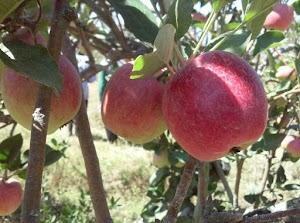 Kapan Musim Berbuah Buah Apel