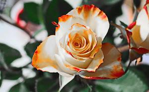 الورود هي مصدر من مصادر السعادة