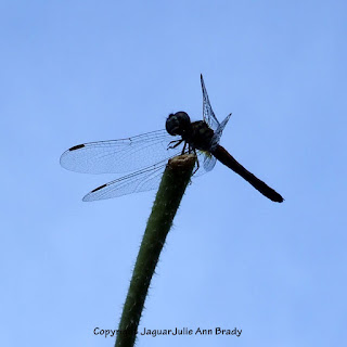 Dance of the Dragonfly step 4