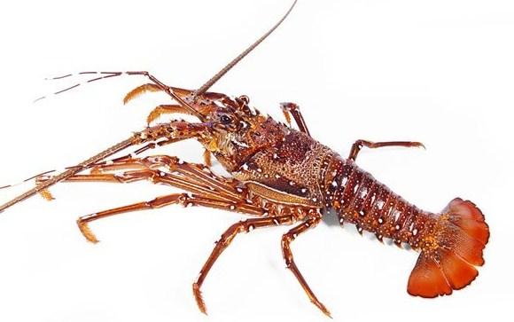 Panulirus Longipes - Mengenal Lobster Air Laut Dan Cara Budidayanya