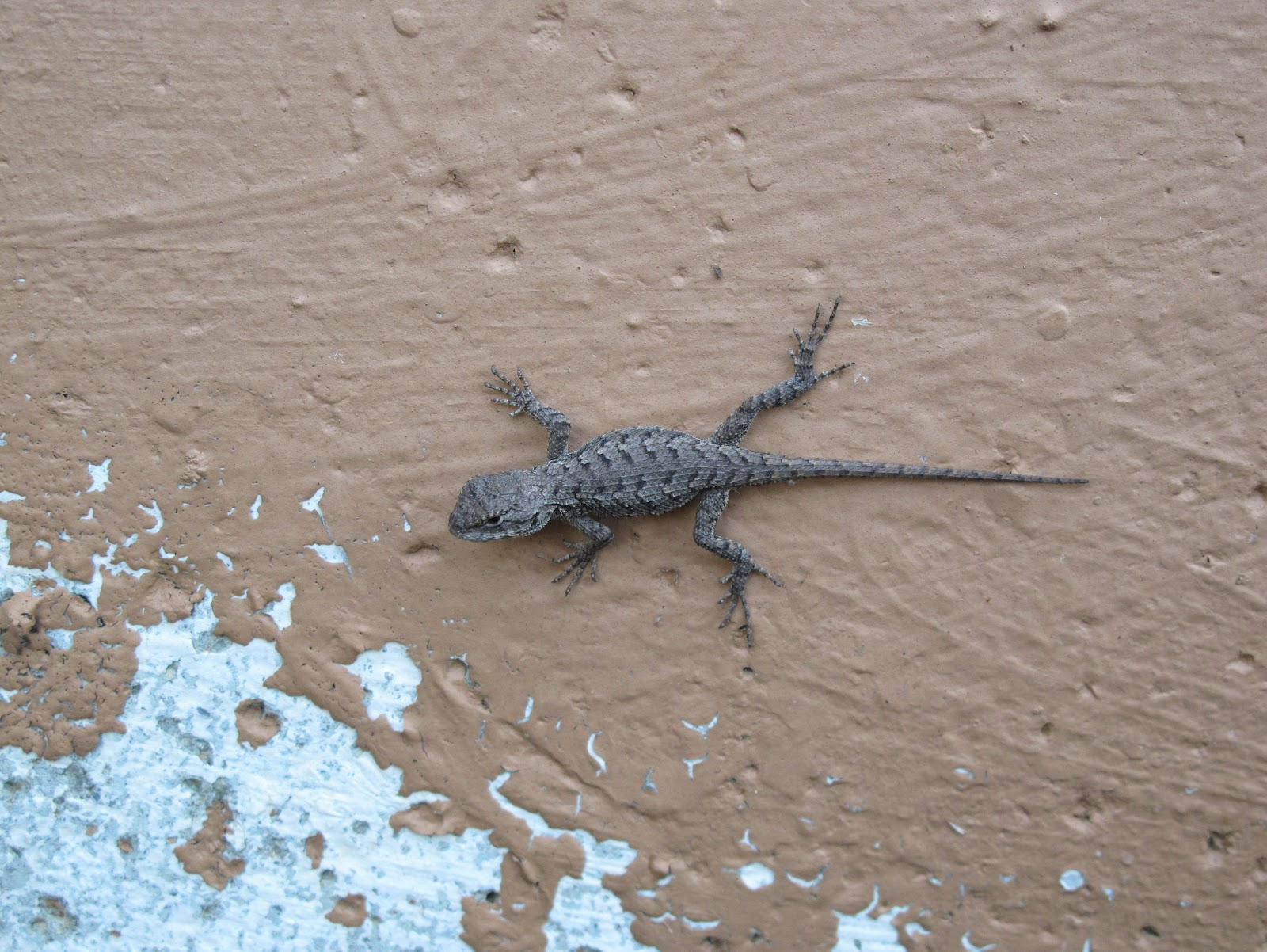 blue jay barrens northern fence lizard youngster