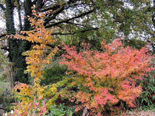 couleurs automnales acer palmatum et parrotia