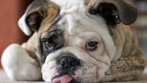 Cuidado ojos Bulldog Inglés